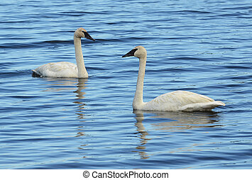 A Pair of Trumpeter Swan (Cygnus buccinator) Swimming on a Lake