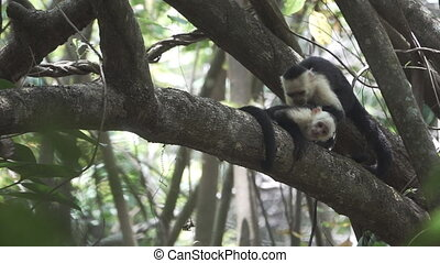 A pair of white face monkeys taking care of each other -...