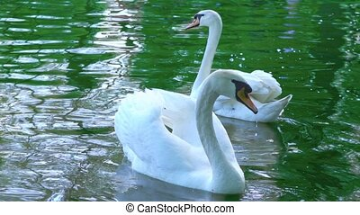 A pair of white swans swim in the water, swans on the pond, slow motion
