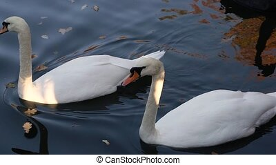 A pair of white swans swimming in a pond in a city park.