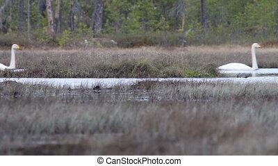 pair of Whooper swan (Cygnus cygnus) floats - A pair of...