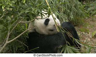 A panda clutching bamboo as it eats - Medium shot of a panda...