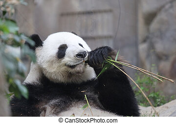 a Panda Eating Bamboo, a Giant Panda