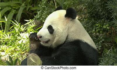 A panda sitting in the shade chewing bamboo - Medium shot of...