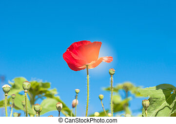 a, papoula vermelha, flor, em, campo, ligado, céu azul, fundo, com, a, sol