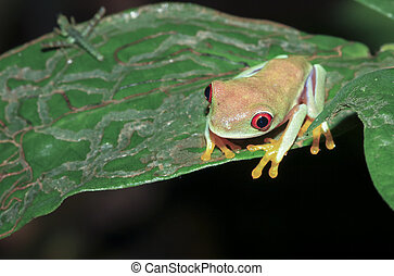 A parachuting red-eyed leaf frog (Agalychnis saltator) sits on a leaf at night in Tortuguero National Park, Costa Rica.