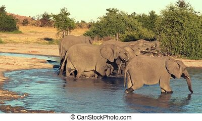 A parade or herd of elephants is seen drinking from a...