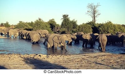 A parade or herd of elephants is seen drinking from a natural water hole