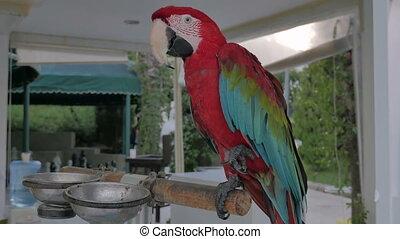 A parrot. Red Ara.