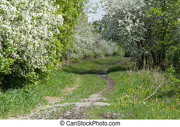 A path among blooming apple trees in a spring park