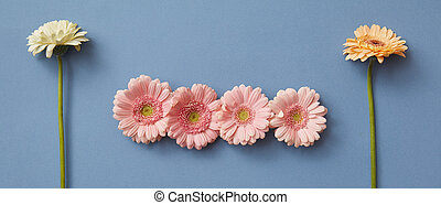 A pattern of flowers gerberas on a blue paper background, isolated