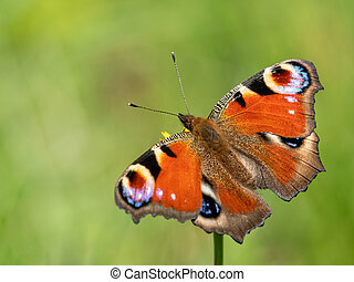 A peacick butterfly sitting on a flower on a sunny day in summer
