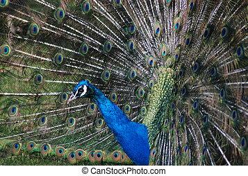A peacock 1