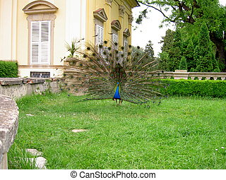 A peacock with an extended tail of feathers stands on the lawn of the castle garden