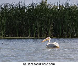 A Pelican in the Danube River