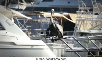 Pelican - A Pelican sitting on boats railing
