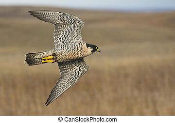 Peregrine Falcon - A Peregrine Falcon in flight