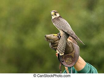 Peregrine Falcon - A Peregrine Falcon preparing to take off