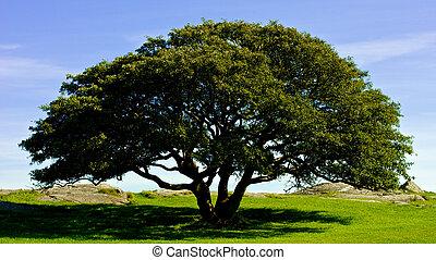 A Perfekt Oak Tree - A solitary and perfect looking Oak...