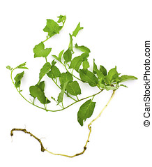 A pernicious weed - field bindweed - A pernicious weed in...