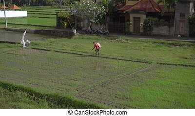 a person treats rice field with pesticides. slowmotion video.
