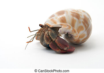 A pet hermit crab rests isolated on white faces left