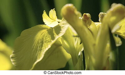 A petal of the yellow Iris flower waving on the breeze of the wind FS700 Odyssey 7Q
