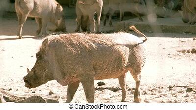 A Phacochoerus aethiopicus walking on the mud alongside...
