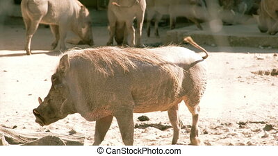 A Phacochoerus aethiopicus walking on the mud alongside...