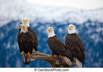 American Bald Eagles - A photo of 4 American Bald Eagles on ...