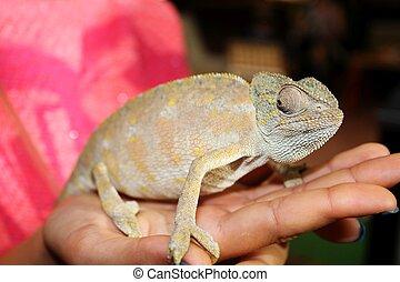 Chameleon on a hand