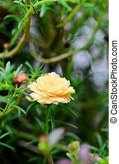 close up portulaca flower in the garden
