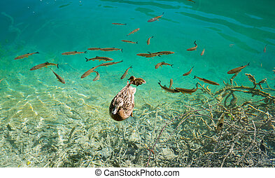 photo of fishes and duck swimming in a lake, taken in the national park Plitvice, Croatia