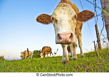A photography of a curious brown cow