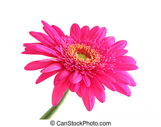 pink gerber - A photography of a pink gerber on white...