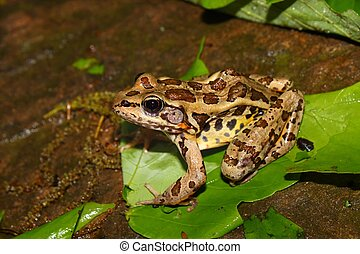 Pickerel Frog (Rana palustris) - A Pickerel Frog (Rana...