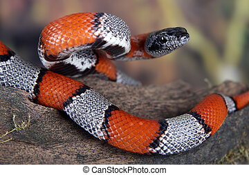 a picture of a beautiful Grey Banded Kingsnake