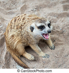 A picture of a meerkat in zoo