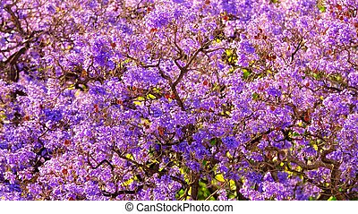 A picture of beautiful view of jacaranda tree