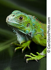 A picture of iguana, small dragon, lizard, gecko