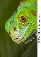 A picture of iguana, small dragon, lizard, gecko