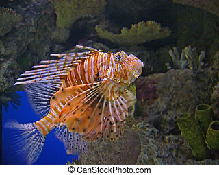 Lion Fish - A picture of the deadly and rare Lion Fish