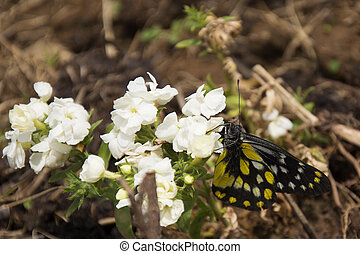A Pieridae Butterfly in Spring - A Caper White Butterfly...