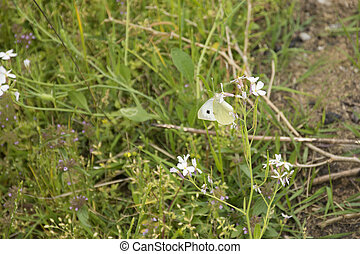 A Pieridae Butterfly in Spring - A White Butterfly Feeding...