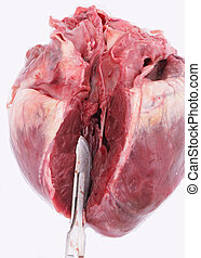 pig heart - A pig heart with a big wound
