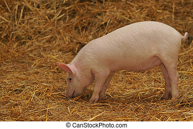 a pig in straw - A lone pig standing in a bed of Straw
