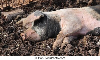 A pig resting in the mud