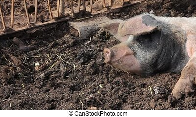 A pig sleeping in the mud