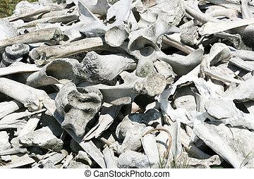 Bison and Deer Bones
