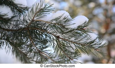 Pine branches in the winter forest